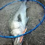 【岩井袋周辺】日本一魚影が濃い!?シーバスポイント教えます・・