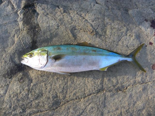 【冬でも確実に釣れます】カンパチ、タイ、イナダ、ヒラメが釣れる!福島県新地町海釣り公園